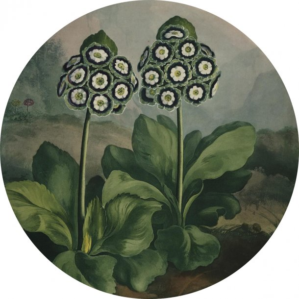 Auriculas